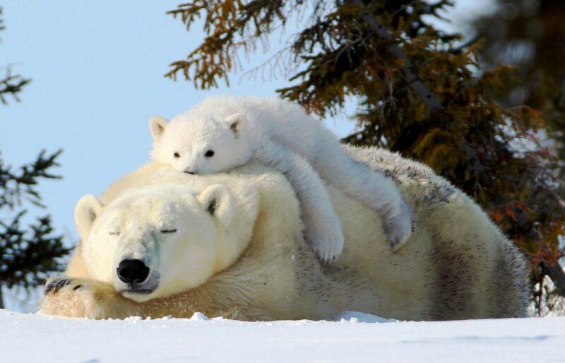Un ours polaire endormi sur des terres enneigées, un ourson se prélassant sur lui, des arbres à feuillage persistant en arrière-plan.